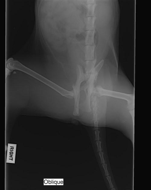 small resolution of broken pelvis in cats symptoms diagnosis treatment cat world spine diagram broken pelvis in
