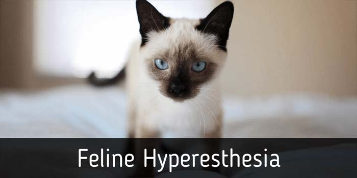 feline hyperesthesia causes symptoms