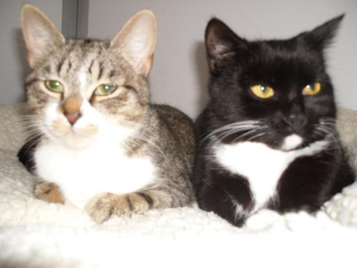 Chloe and Tin Tin - 10 month old female Tabby and White ...