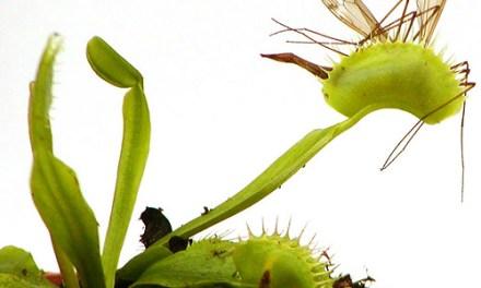Venus atrapamoscas – Planta carnívora