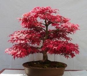 Acer palmatum – Más de 1000 variedades diferentes