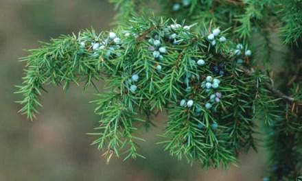 Los Juniperus – Más de 25 variedades distintas a la venta.