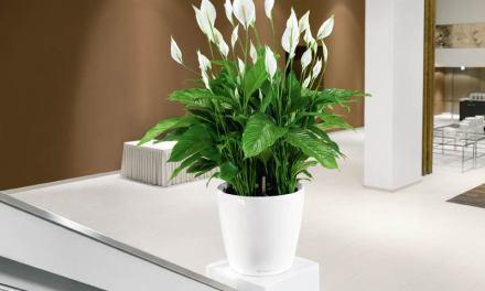 Planta del mes de Enero: Spathiphyllum con un 25% de descuento.
