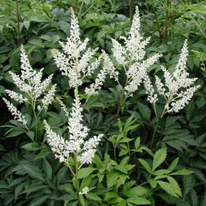 Astilbe - flor blanca