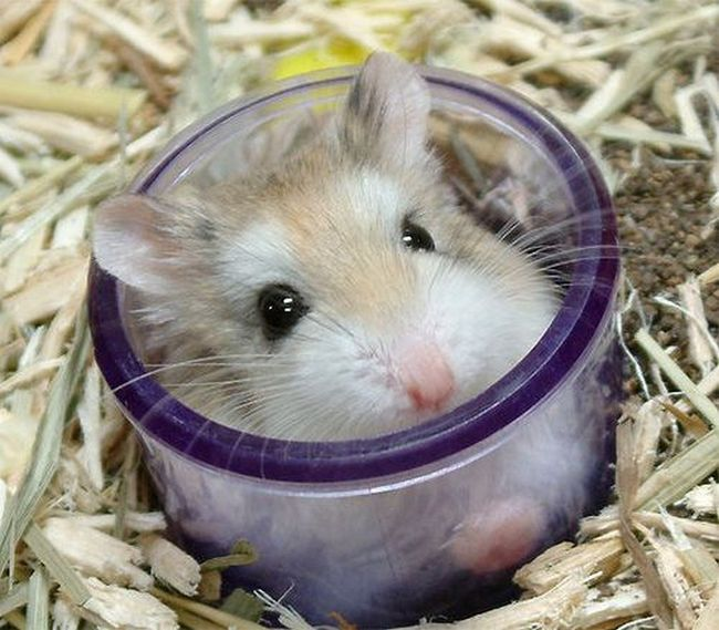 hamster-roborovskii