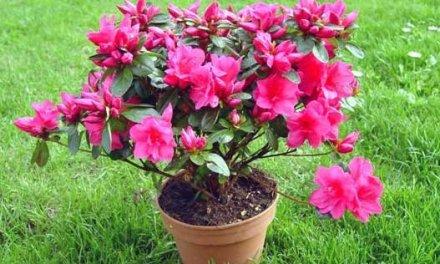 Planta del mes de Marzo: Azalea con un 25% de descuento.