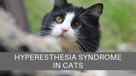 cat health hyperesthesia syndrome