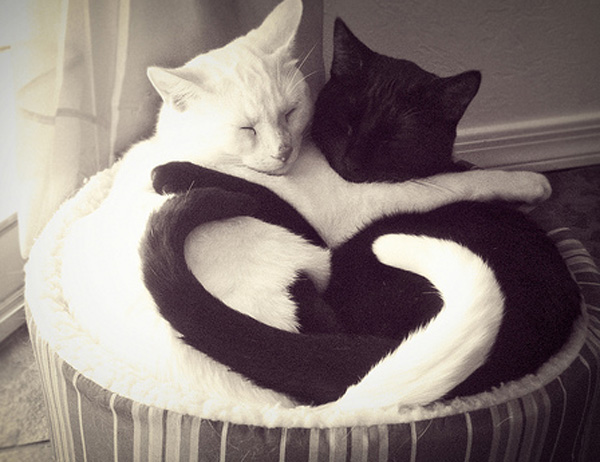 yin yang cats cat