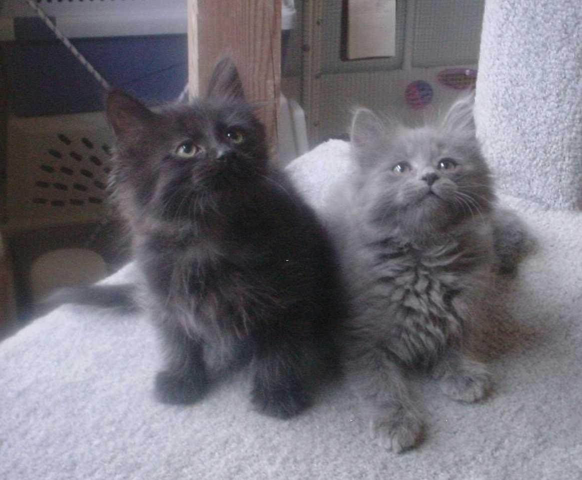 ChantillyTiffany Cat Info Personality Kittens Diet