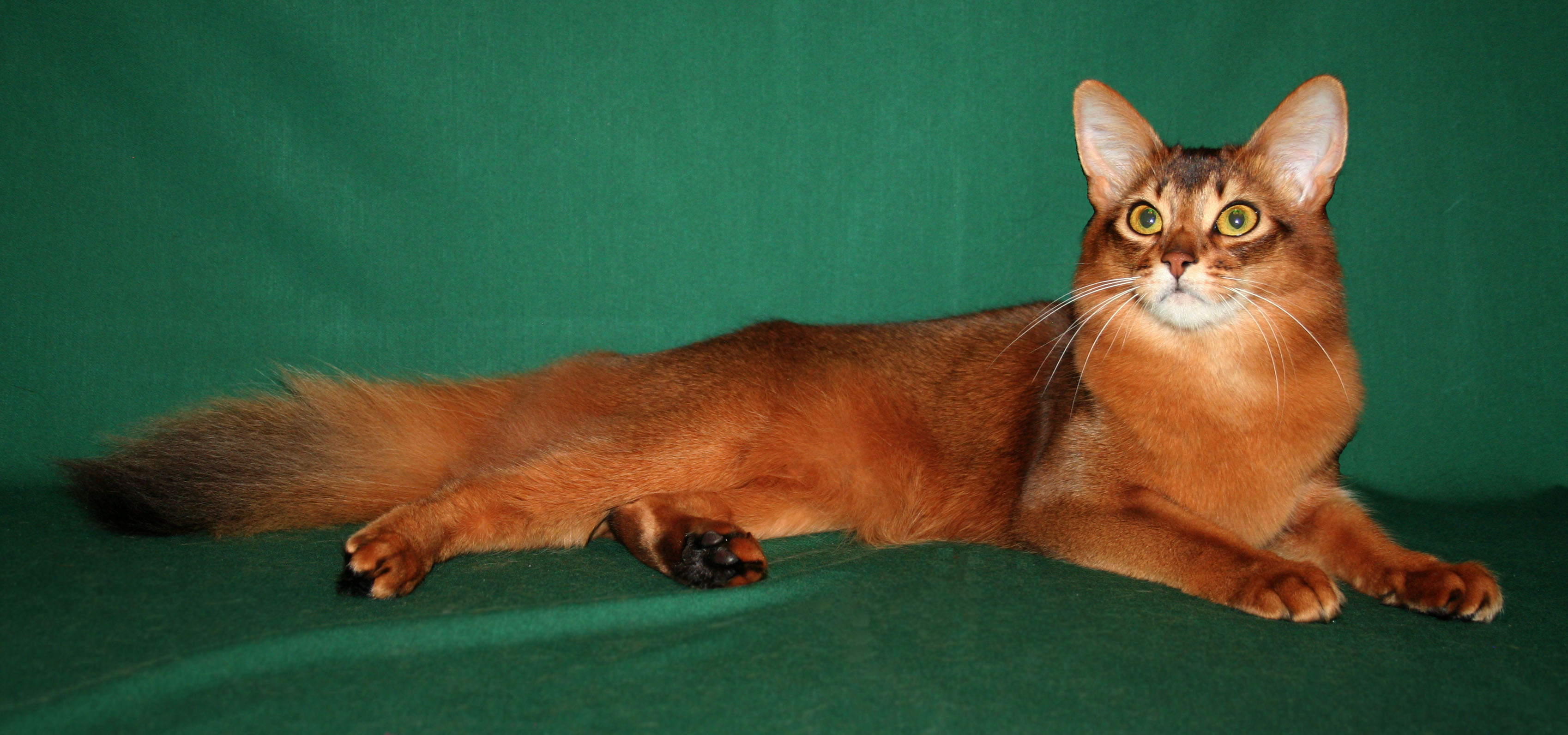 And Grey Abyssinian Cat Black