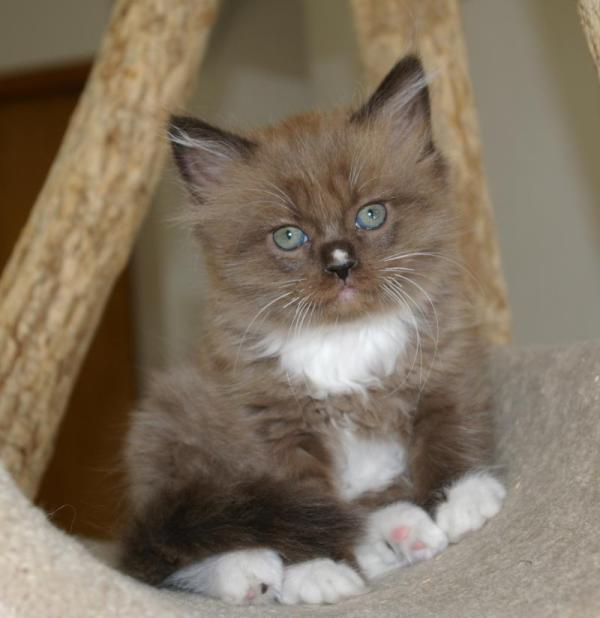 20+ Ragamuffin Breeders Pictures and Ideas on Weric