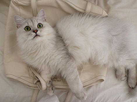 Asian Semi Longhair TiffanyTiffanie Cat Info History