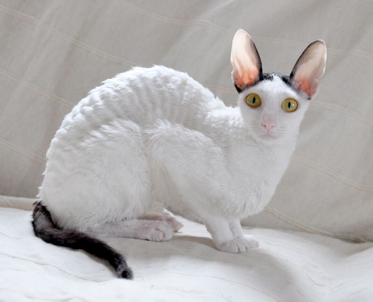 Cornish Rex Info Kittens Personality Life Expectancy