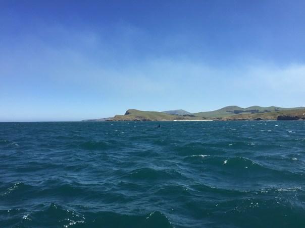 Orcas in Dunedin Harbour
