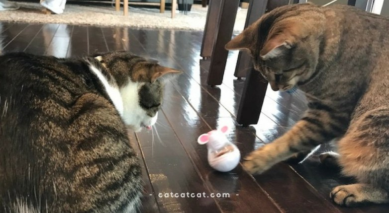 Pixel and Eevee playing with their temptations mouse toy