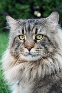 Maine Coon Names