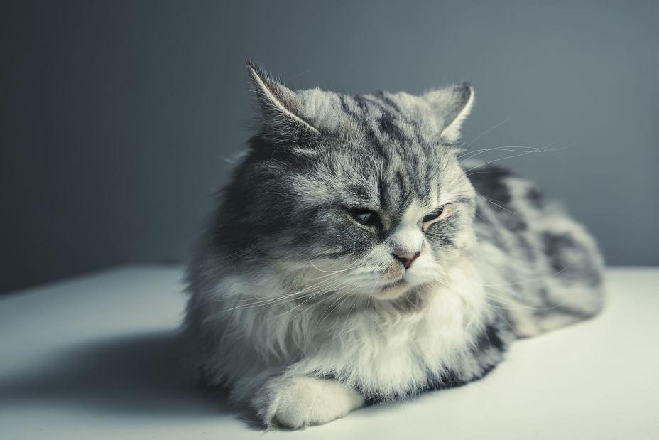 persian LONG HAIR CAT BREEDS