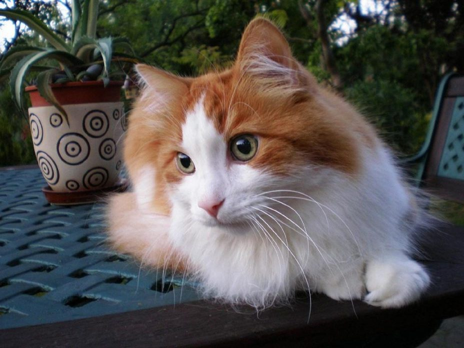 Turkish ANgora Long Hair