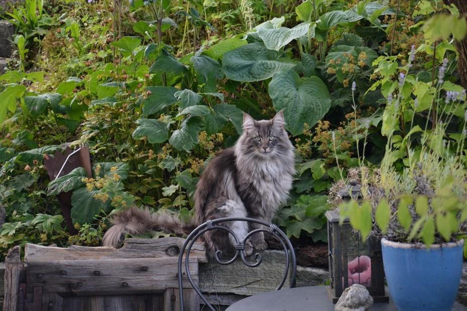 Norwegian Forest Cat long hair cat