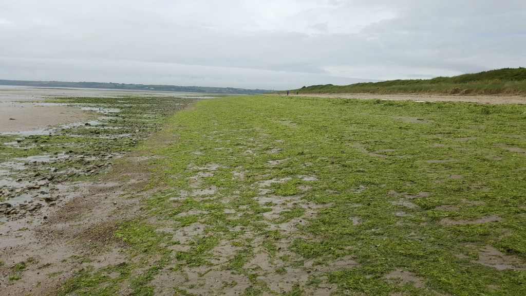 OPPORTUNISTIC GREEN SEAWEED ON REDBARN BEACH, CO. CORK, JULY 2016. PHOTO: ROBERT WILKES.