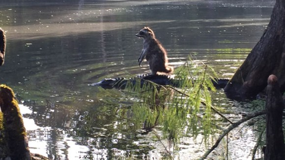 Someone in Florida snapped a picture of a raccoon riding a gator at the Ocala National Forest.