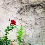 A rose is a rose is a rose…