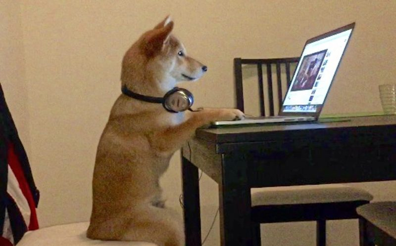 Watch dog: The shiba inu addicted to TV, movies and Netflix - Caters News  Agency
