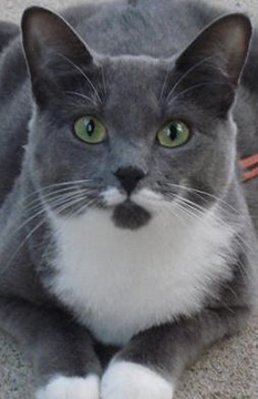 Cat Finders  Blog Archive  Lost gray and white cat