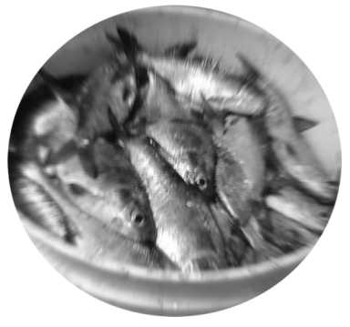 Gizzard Shad For Catfish Bait
