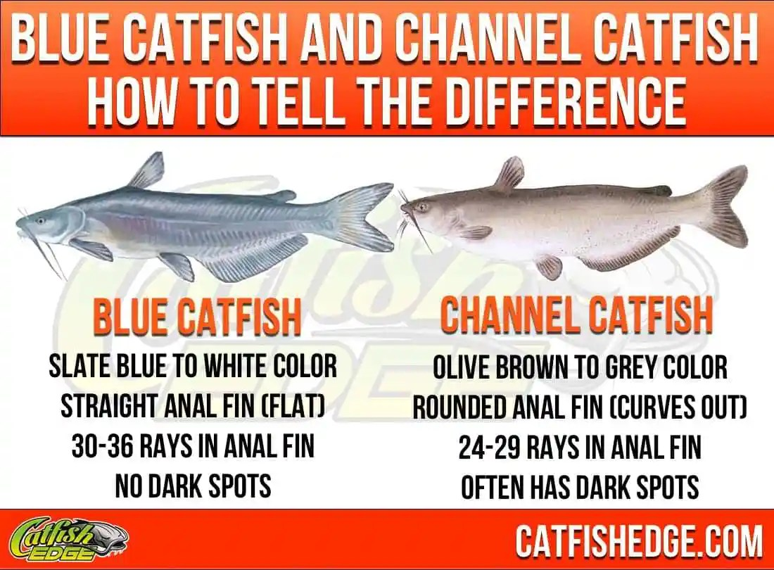 How To Tell The Difference Blue Catfish and Channel Catfish