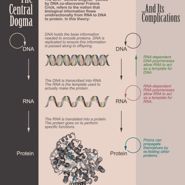 Explanatory graphic about the central dogma of biology. Photoshop and Illustrator.