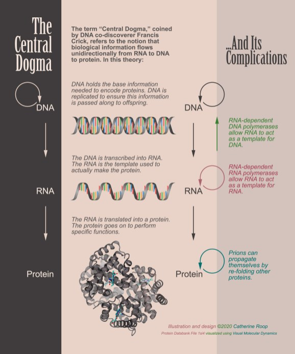 Explanatory graphic about the central dogma of biology.