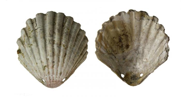 A scallop shell like this was given to Sk27, and other pilgrims at the medieval Shrine of St. James in Spain.