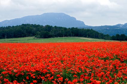 A-field-of-Poppies