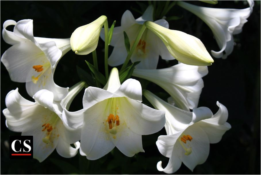 lily, easter, resurrection