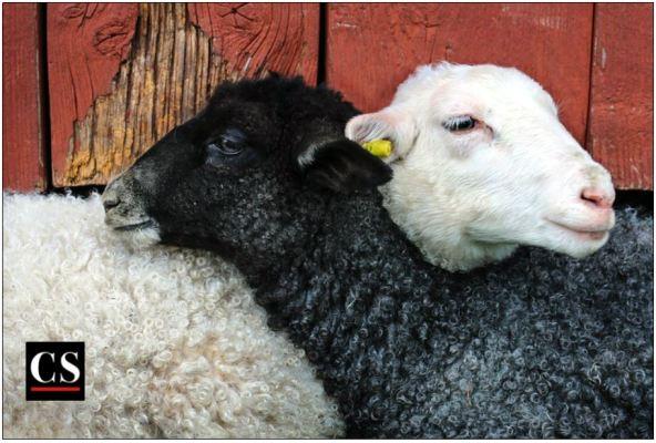 black and white, sheep