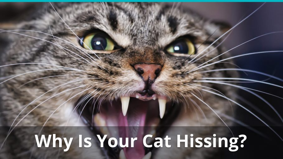What Does It Mean When A Cat Growls