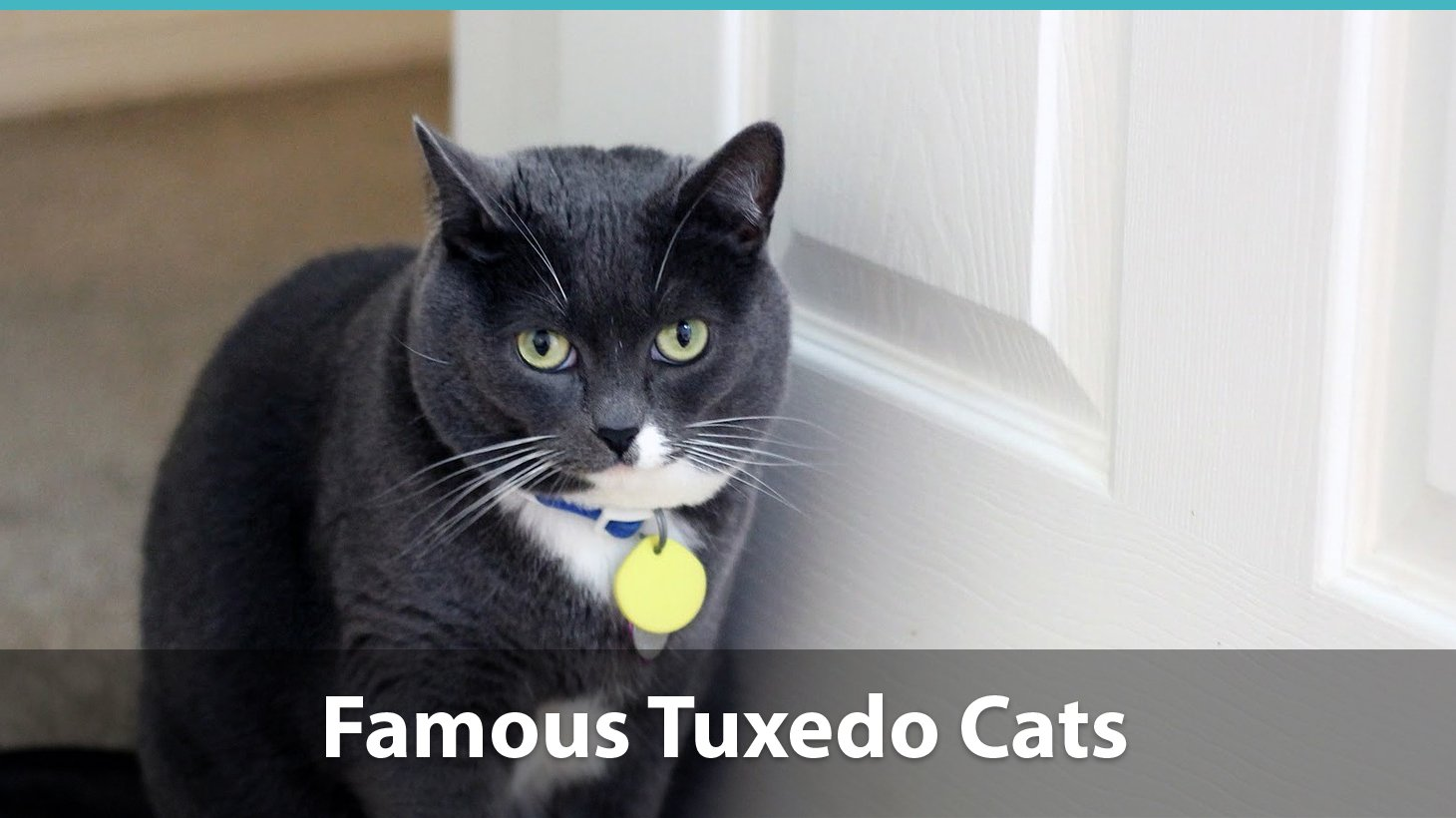 facts about tuxedo cats
