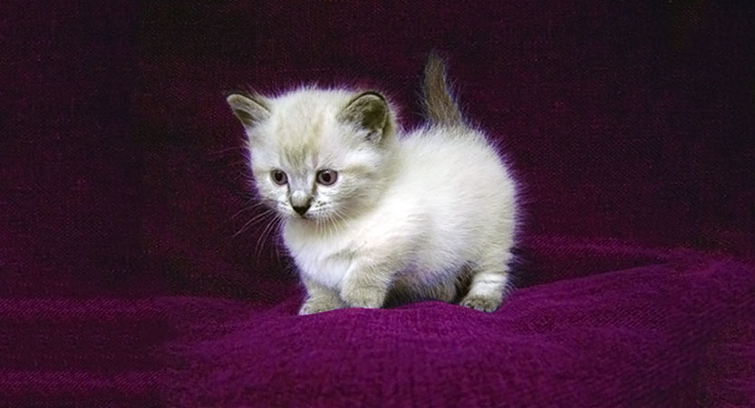 dwarf cats are so