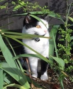 black and white cat in some foliage