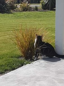 Tabby cat standing beside a tussock, looking out over her garden