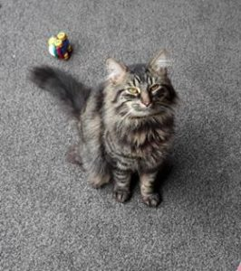 Tabby cat sits on some carpet. He is looking at the camera and a single cat toy is lying behind him