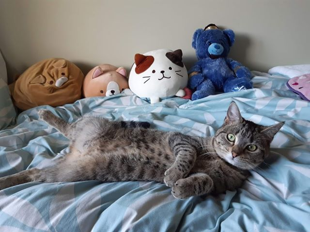 Tabby cat with a spotty tummy, lying on a bed, surrounded in cute soft toys