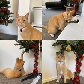 A series of 4 images depicting a ginger cat playing with - and under a Christmas tree