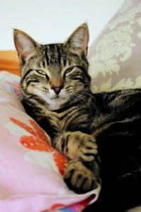 Tabby boy cat called Tom