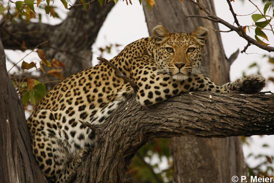 Amazon River Hd Wallpaper Catsg Leopard