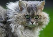 curly hair cat breeds and