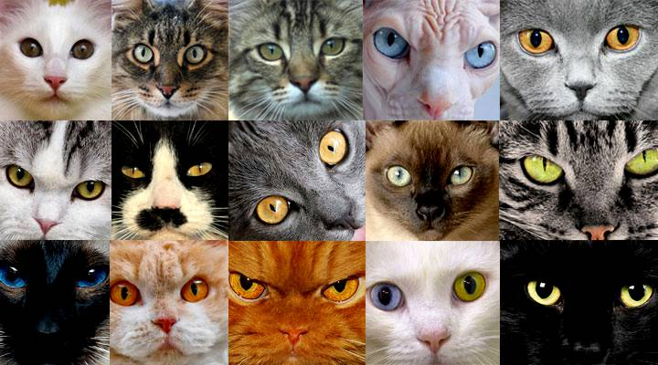 How To Get Rid Of Cat Urine Smell >> 10 Top Different Cat Breeds and Different Cat Personalities