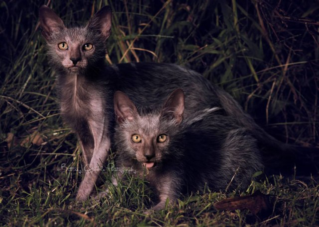 lykoi cat3 Lykoi Cats The Werewolf Cat Everything You Need To Know