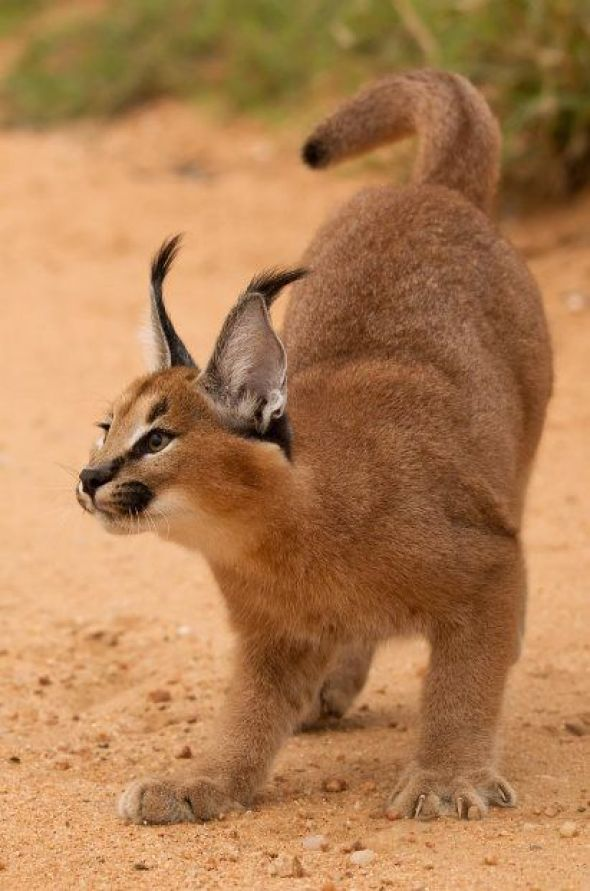 Caracal Cat, The hunter